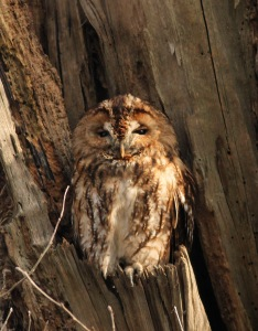 Bosuil / Tawny Owl