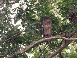 Bruine Visuil / Brown Fish Owl