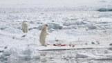 ijsbeer staand 2