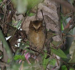 Serendibs Scops Owl / Serendibsdwergooruil
