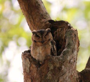Collared scops owl / Indische dwergooruil