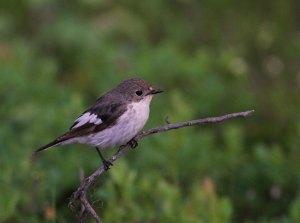 Bonte Vliegenvanger /  Pied Flycatcher