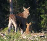 Eland / Moose