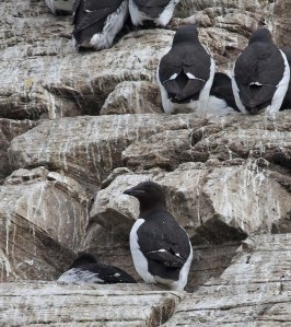 Kortbekzeekoet / Thick-billed Murre