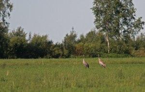 Kraanvogel / Cranes