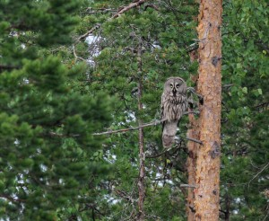 Laplanduil / Great Grey Owl