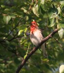 Roodmus / Common Rosefinch