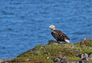 Zeearend / White-tailed Eagle
