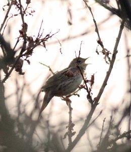 Kleine sprinkhaanzanger / Lanceolated warbler