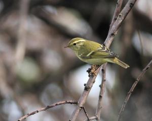 Bladkoning / Yellow-Browed Warbler , Maasvlakte