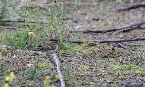 Bladkoning / Yellow-Browed Warbler , Tweede Maasvlakte met geen struik of boom in de buurt.