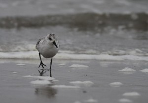 Drieteenstrandloper / Sanderling
