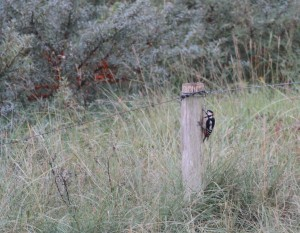 Grote bonte specht / Greater spotted woodpecker