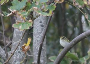 Pallas Boszanger / Pallas leaf warbler