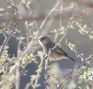 Dwergtjiftjaf / Plain leaf warbler