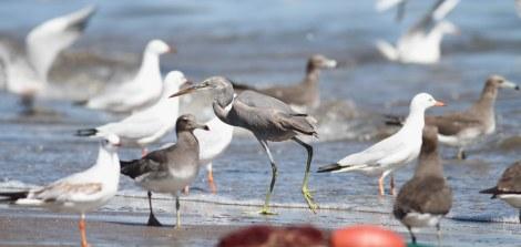 Westelijke rifreiger / Western Reef heron