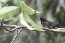 Black-throated sunbird 2
