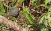 chestnut capped laughingthrush 2