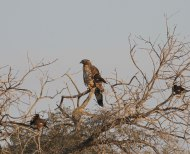 Crested Honeybuzzard / Aziatische wespendief