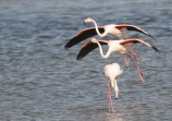 Greater Flamingo / Flamingo