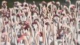 Greater Flamingo / Flamingo