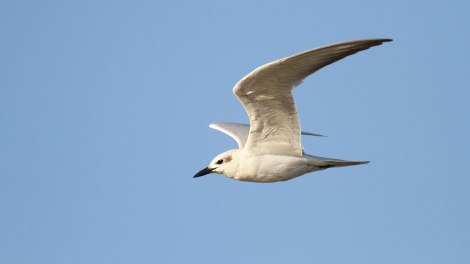 Gull-billed tern / Lachstern