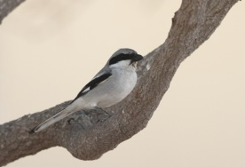 Southern Grey shrike / Zuidelijke klapekster