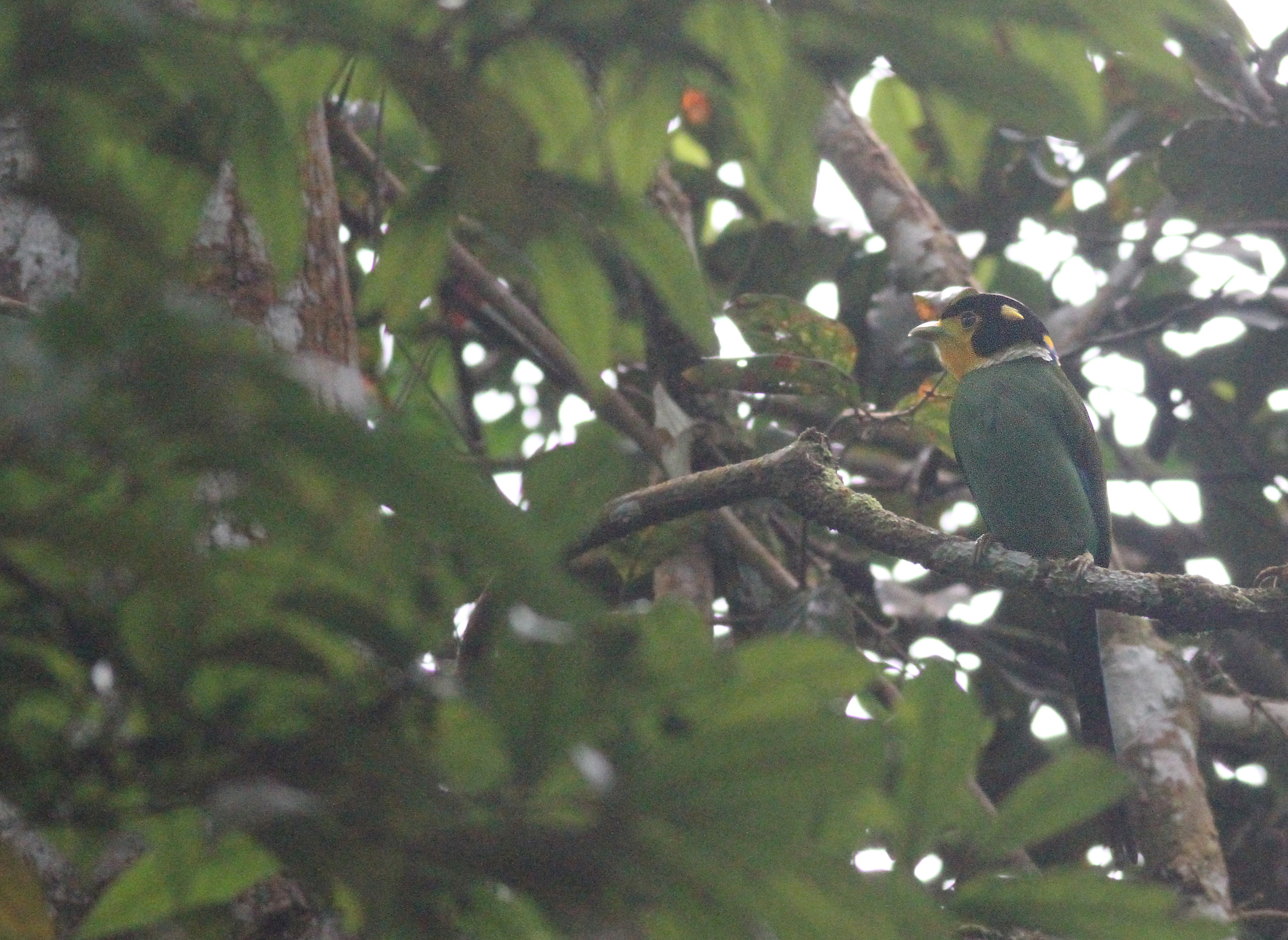 Long-tailed broadbill 2.jpg