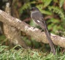 Long-tailed sibia 2