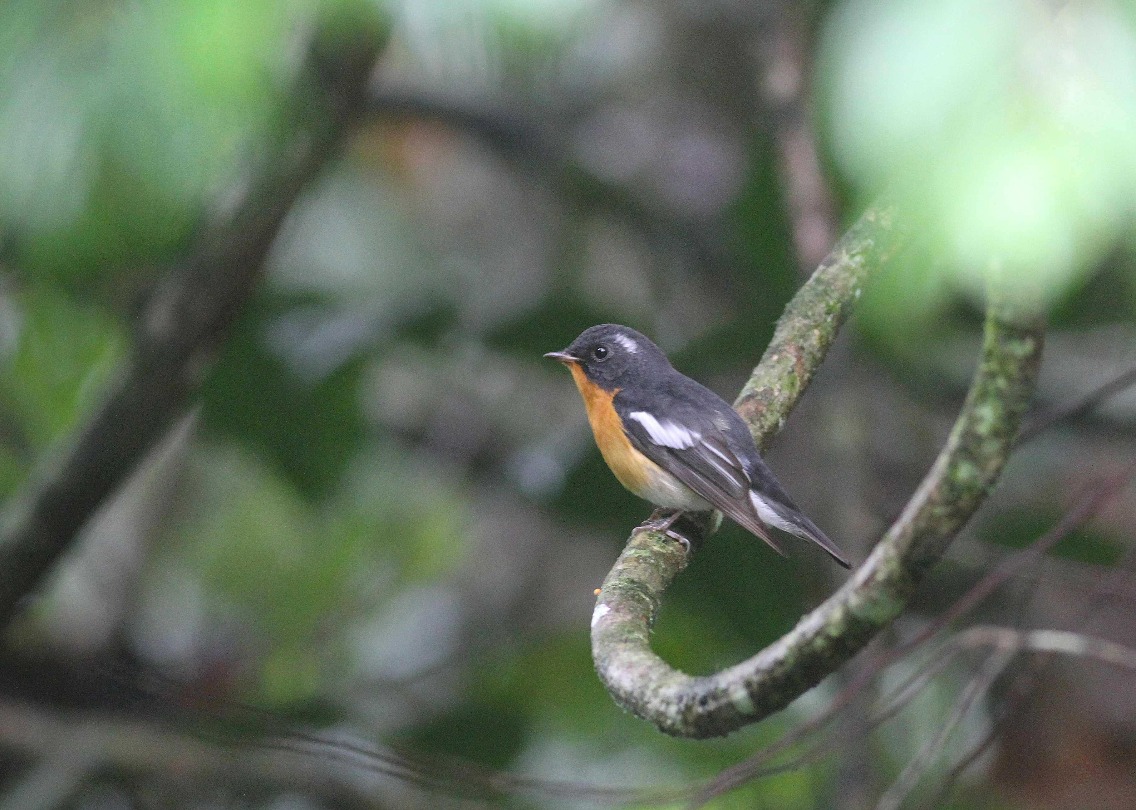 Mugimaki flycatcher man 2