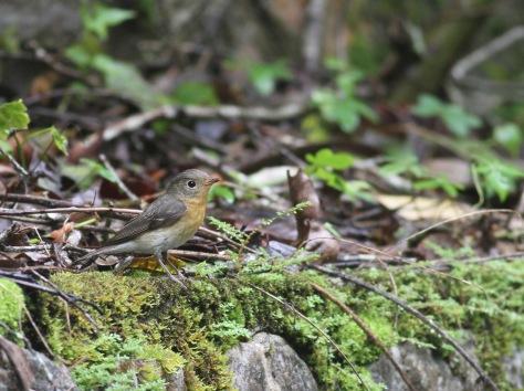mugimaki flycatcher vrouw