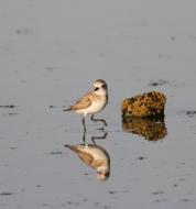 Woestijnplevier / Greater sand plover