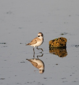 Woestijnplevier / Greater sand plover