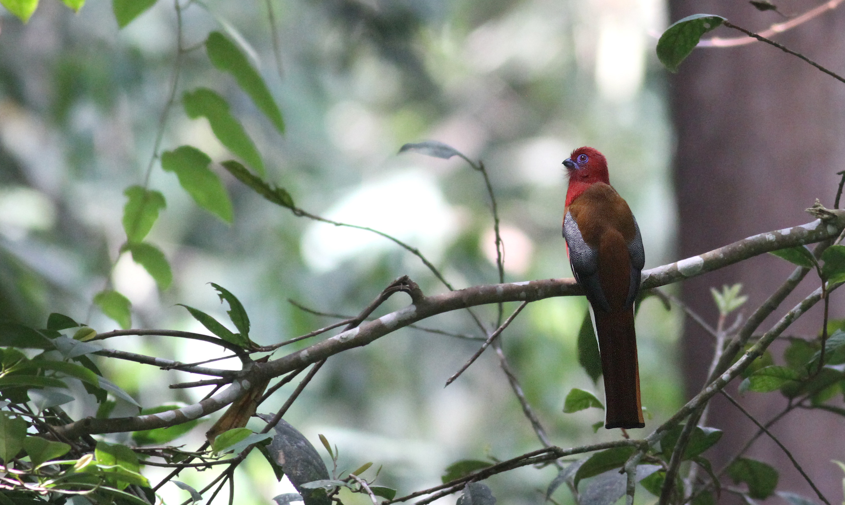 Red-headed Trogon.jpg