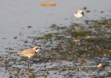 Strandplevier / Kentish Plover