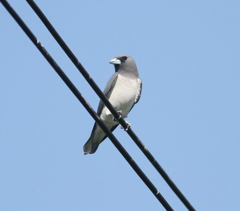 white-breasted woodswallow.jpg