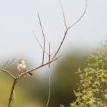 Woestijngrasmus / Desert warbler