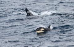 NA 29 orka 2