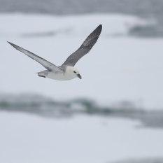 noordse stormvogel ijs