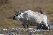 spitsbergen rendier