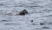 Walrus met zwarte zeekoet