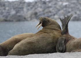 Walrus strand 3